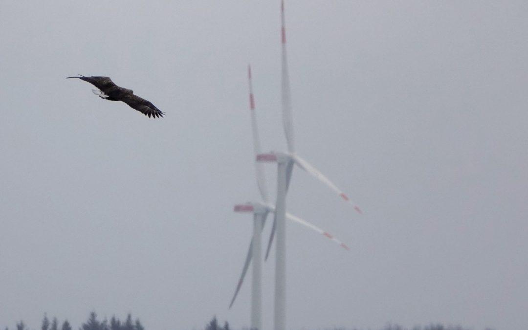 Seeadler und Windkraft im Konflikt