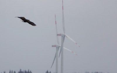 Verhindern Adler und Rotmilan die Windkraft in Rieseby?