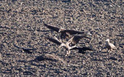 Spektakel nach Drückjagd auf Sikawild in Nordschwansen