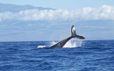 Buckelwal oder Finnwal in Eckernförder Bucht – hat sich nach dem Delfin vor Hemmelmark nun ein großer Wal zu uns verirrt?