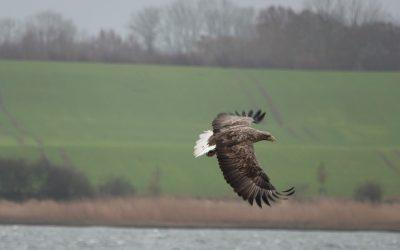 Seeadler an der Schlei trotzen dem Wetter!