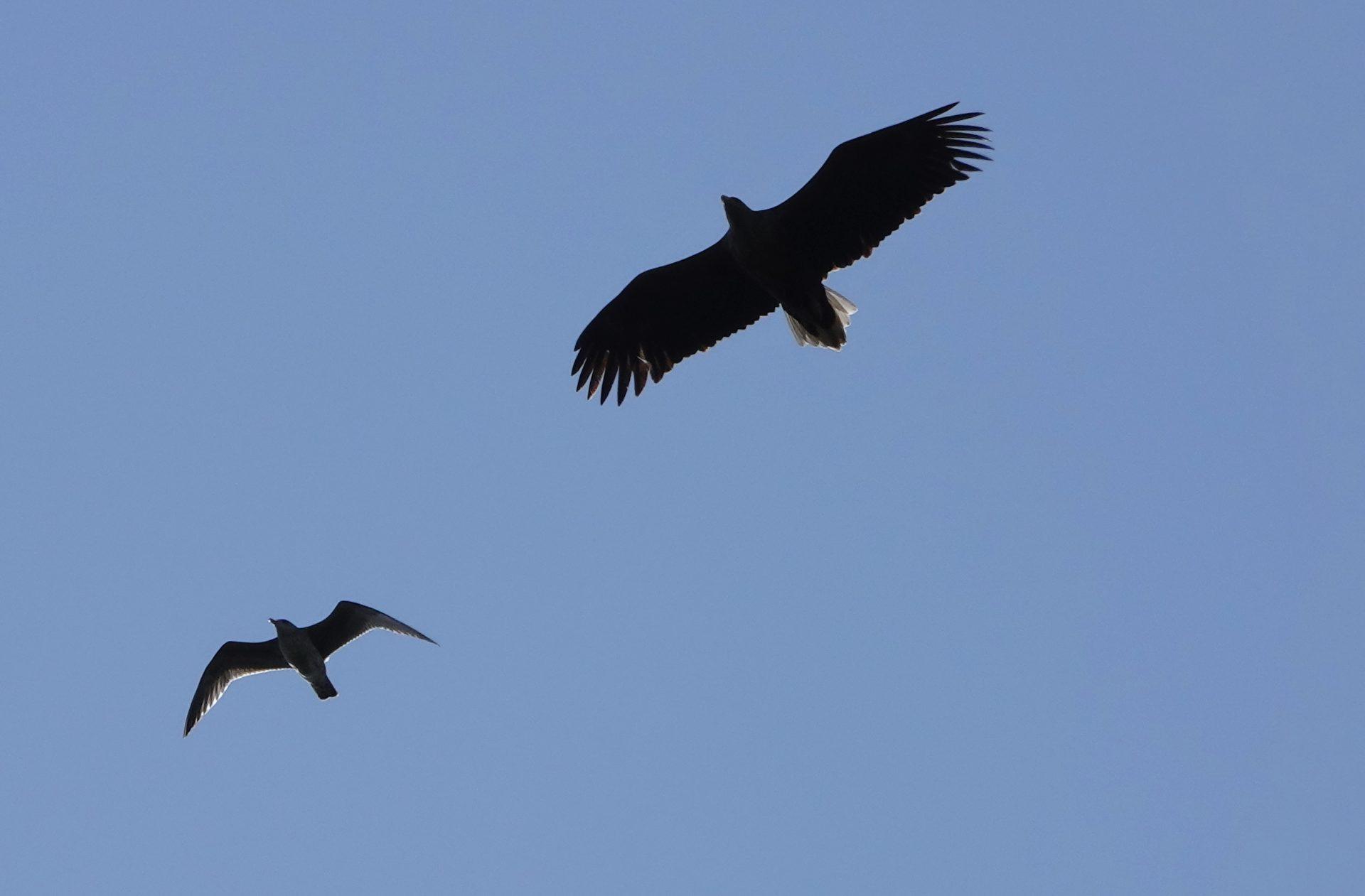Seeadler und Möwe